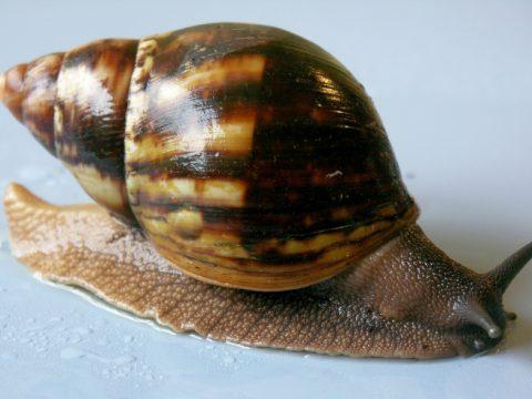 Achatina Marginata